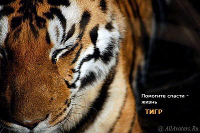 Помогите спасти жизнь всем тиграм!