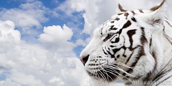Полосатый рейс: год белого тигра и аватарки
