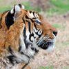 Kartinka tigra_21