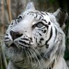 Kartinka tigra_22