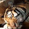 Kartinka tigra_24