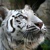 Kartinka tigra_25