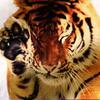 Kartinka tigra_35