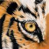 Kartinka tigra_37