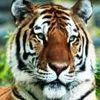 Kartinka tigra_45