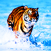 Kartinka tigra_50